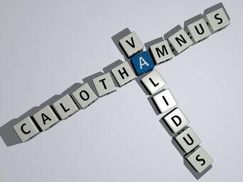 Calothamnus validus