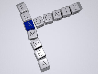 Adonis flammea