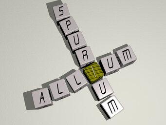 Allium spurium