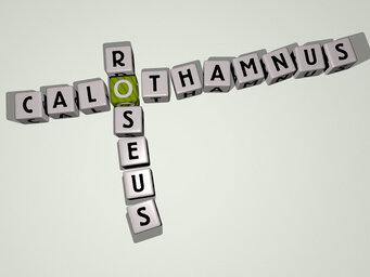 Calothamnus roseus